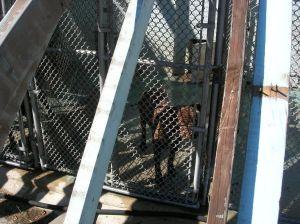AHS 2011 Inspection Dog Under Roof Construction