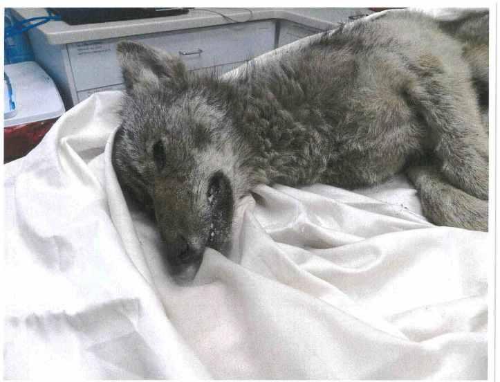 BCAS Coyote Photo 1