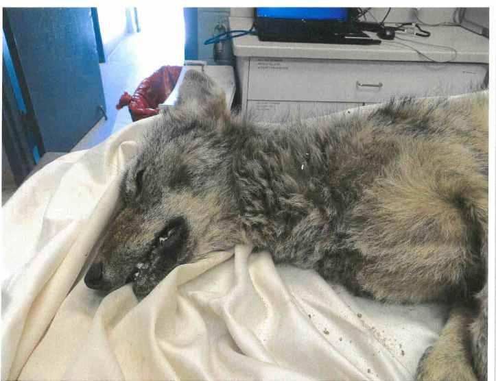 BCAS Coyote Photo 2